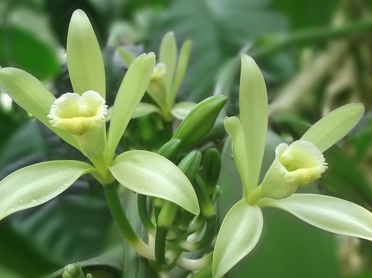 University of Florida study uncovers vanilla DNA mystery