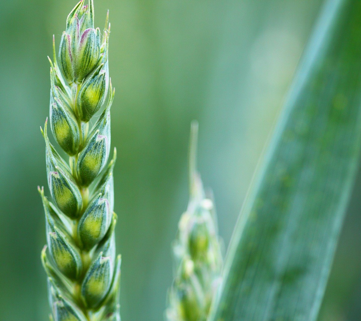 "CSIRO ""gene sandwich"" to boost wheat resistance to rust"