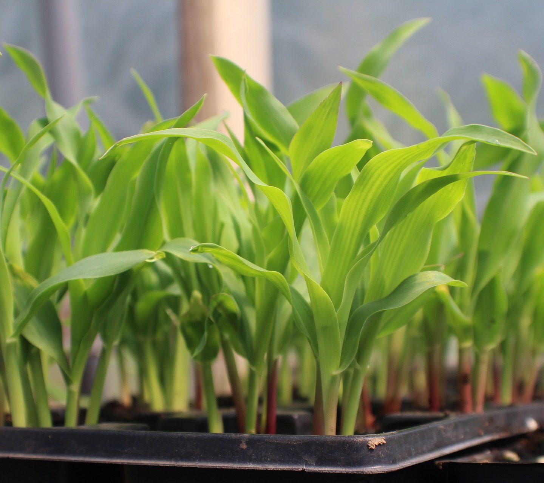Bacteria help plants grow better, lessen need for fertilizer