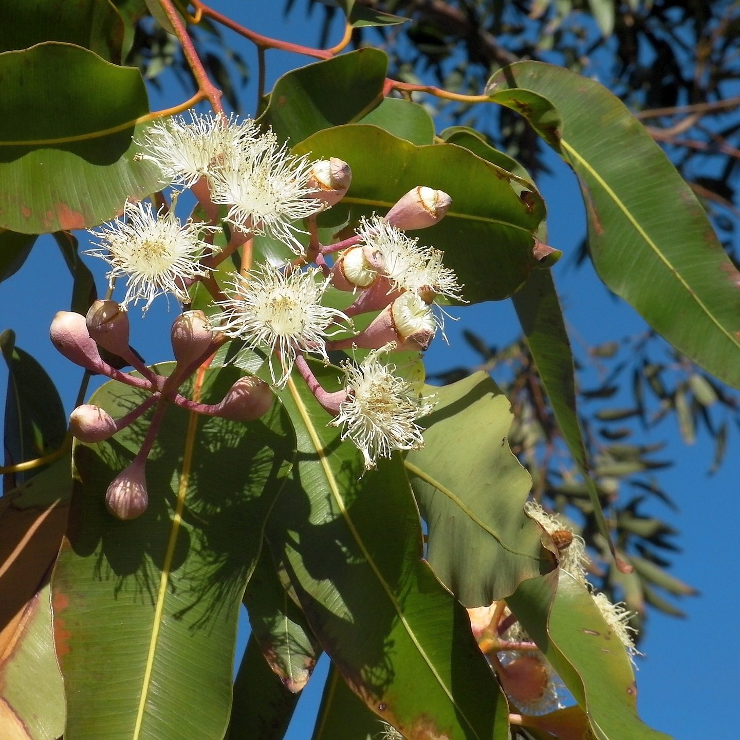 Researchers use CRISPR to prevent eucalyptus trees from being invasive