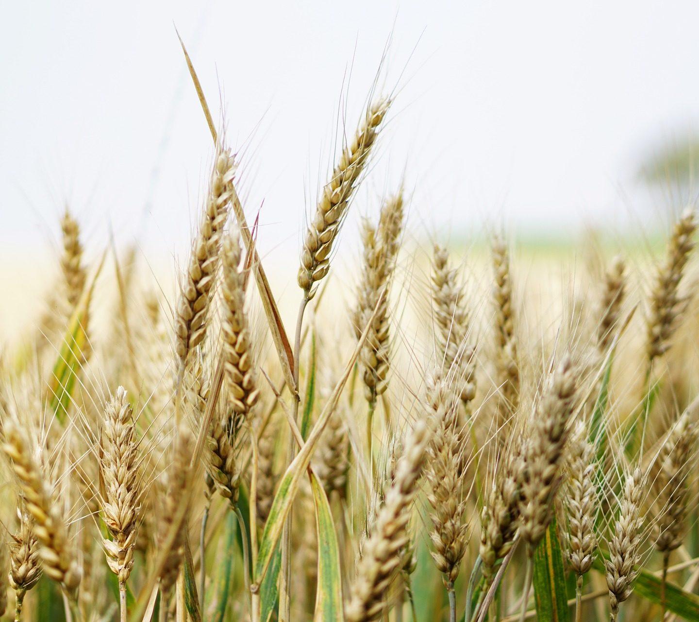 Пшеница, ефективно усвояваща азот, разработена с помощта на CRISPR-Cas9